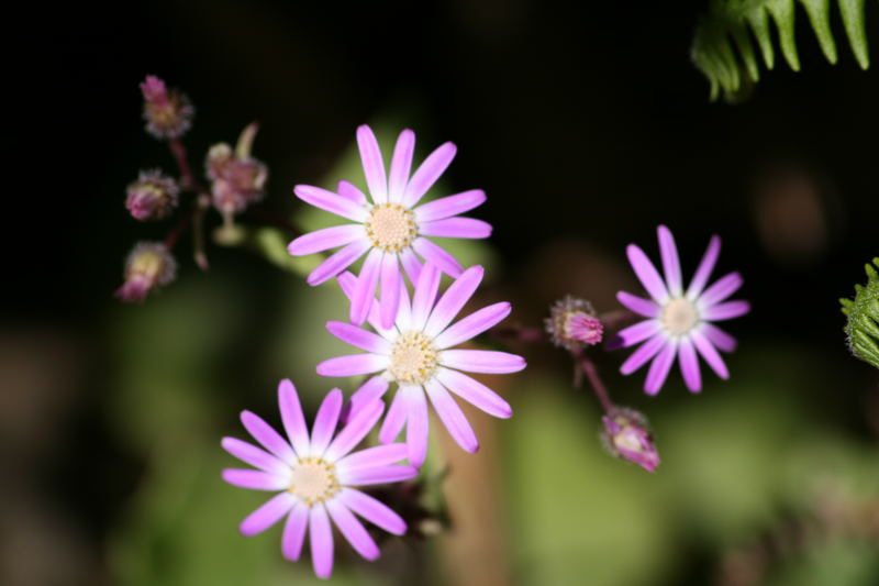 flores malvas