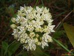 Flores Silvestres II