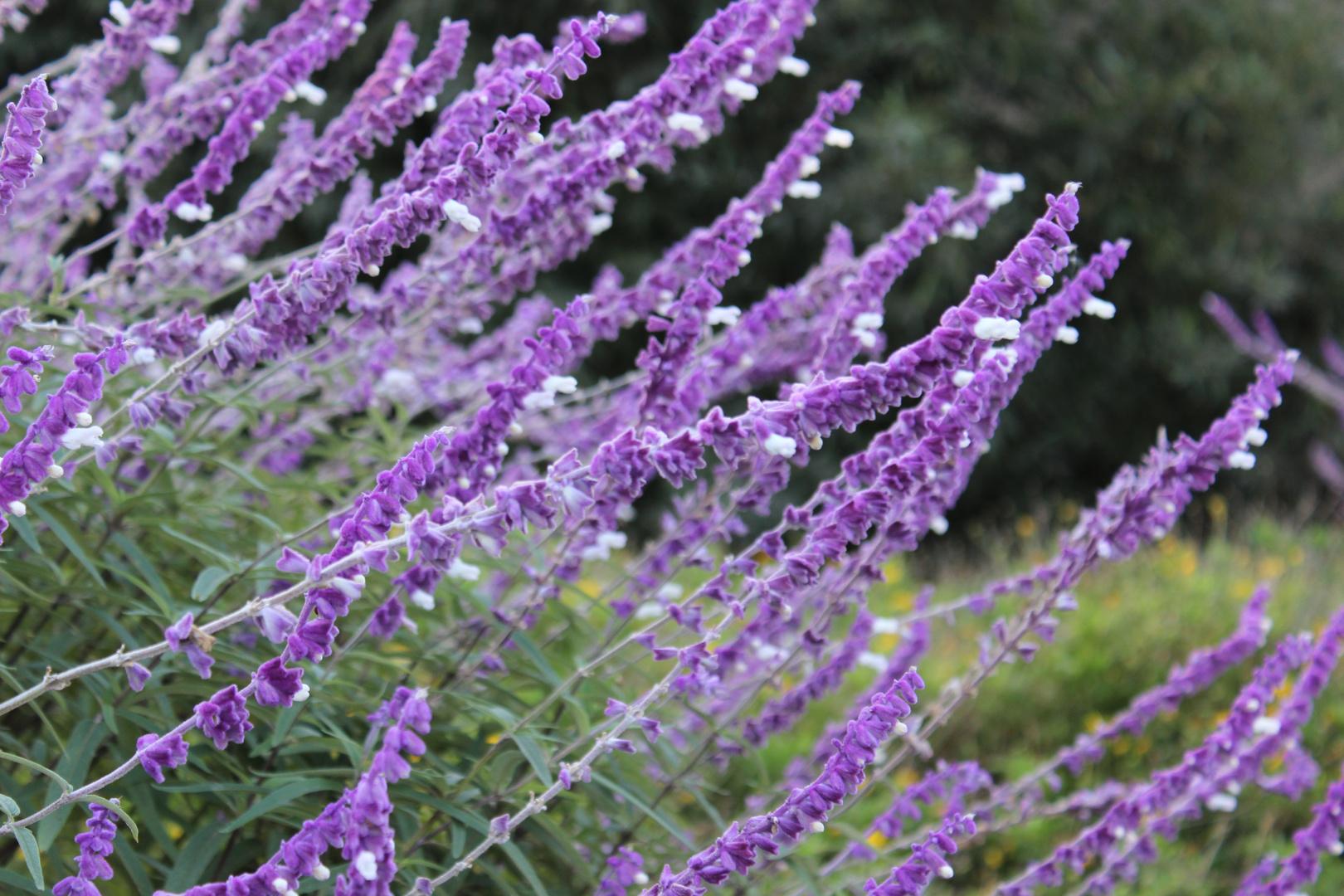 Flores violeta