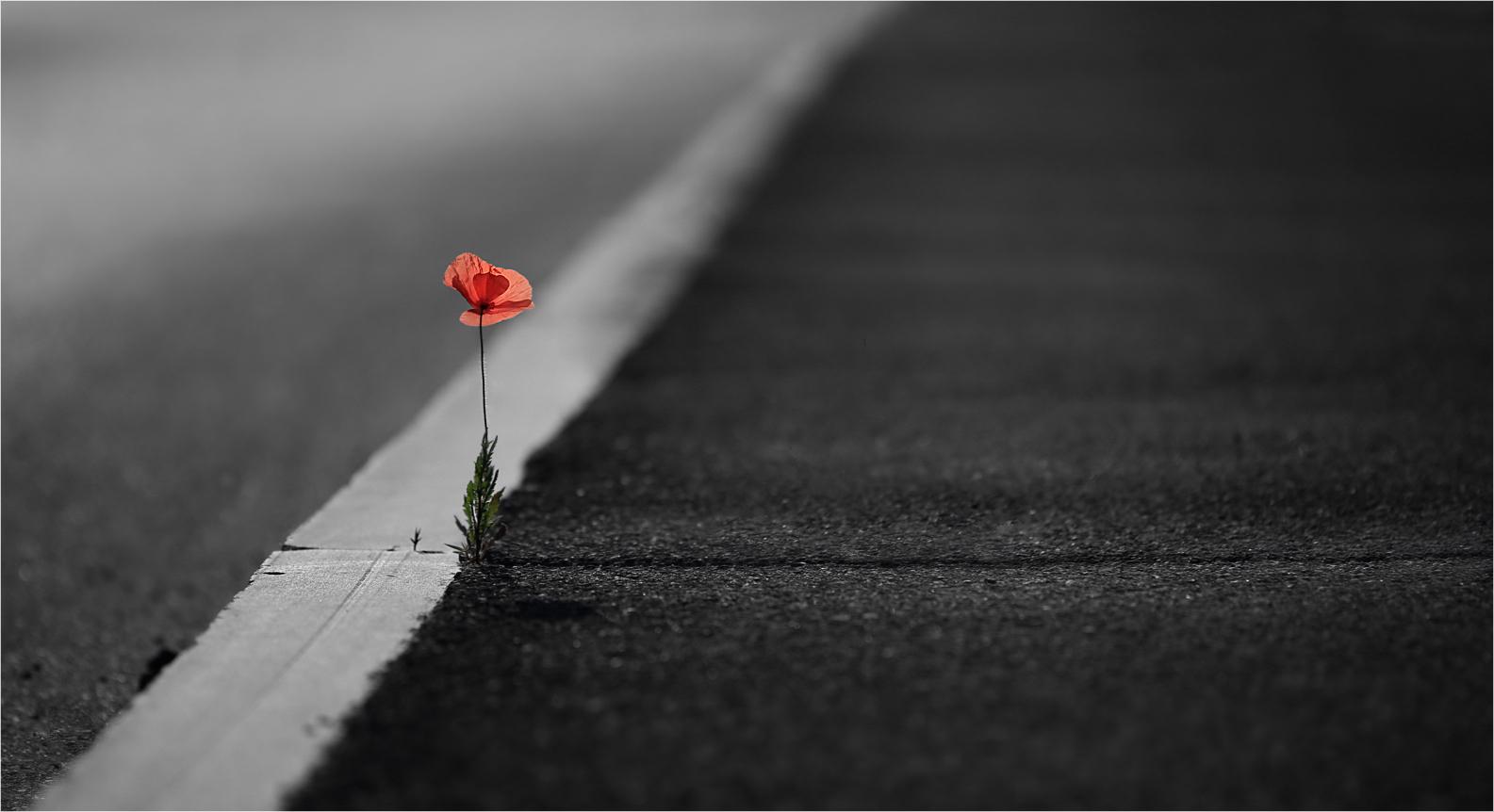 Flores....3....Stone-Poppy