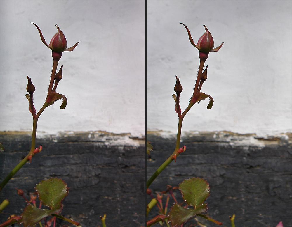 Floribunda (?) vor Fachwerk
