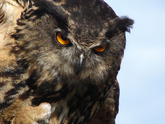 Florida eagle owl (Uhu)