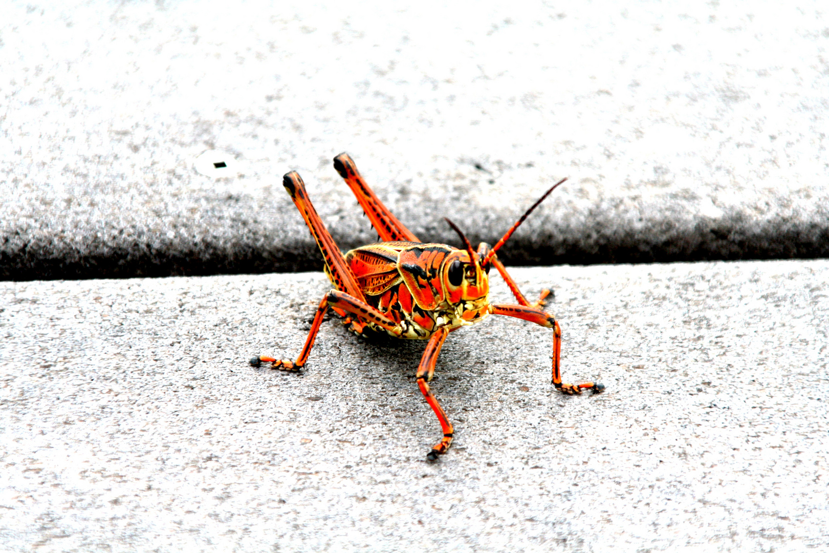 Florida grasshopper