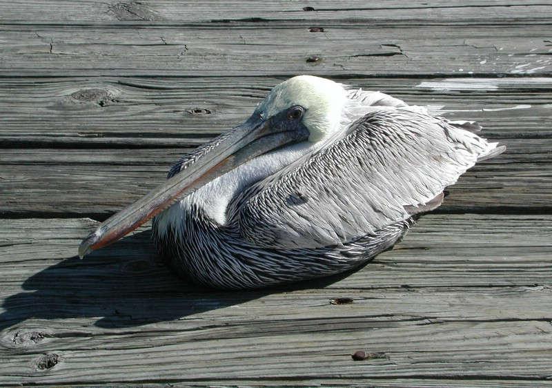 Florida Pelikan
