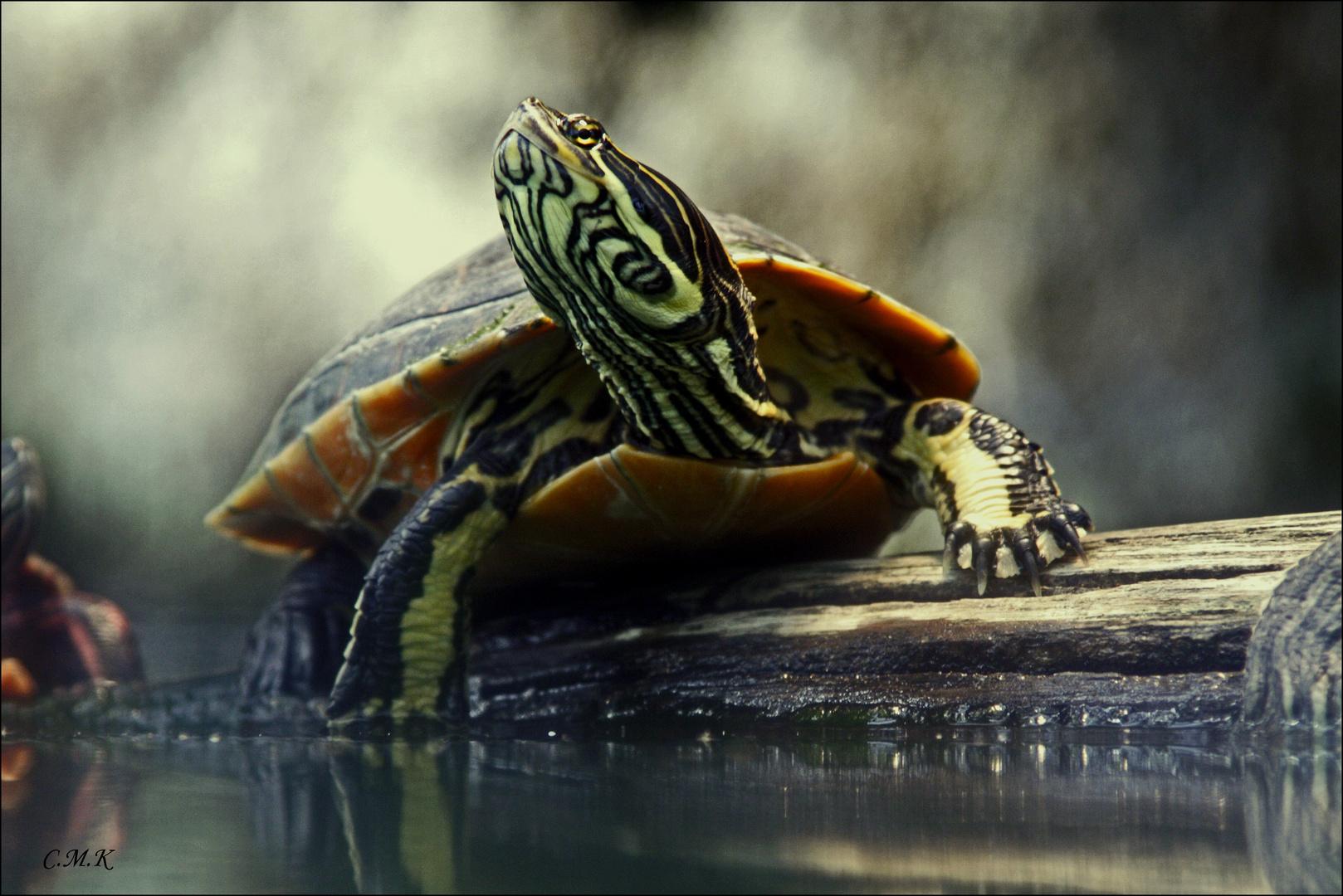 Florida Schmuckschildkröte