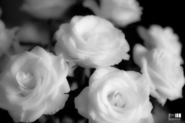 Flouté de roses