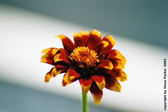 Flower by Vince Parker