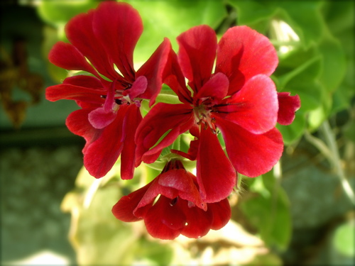Flower from Sicilia