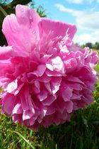 Flower garden _Lilac Peauny