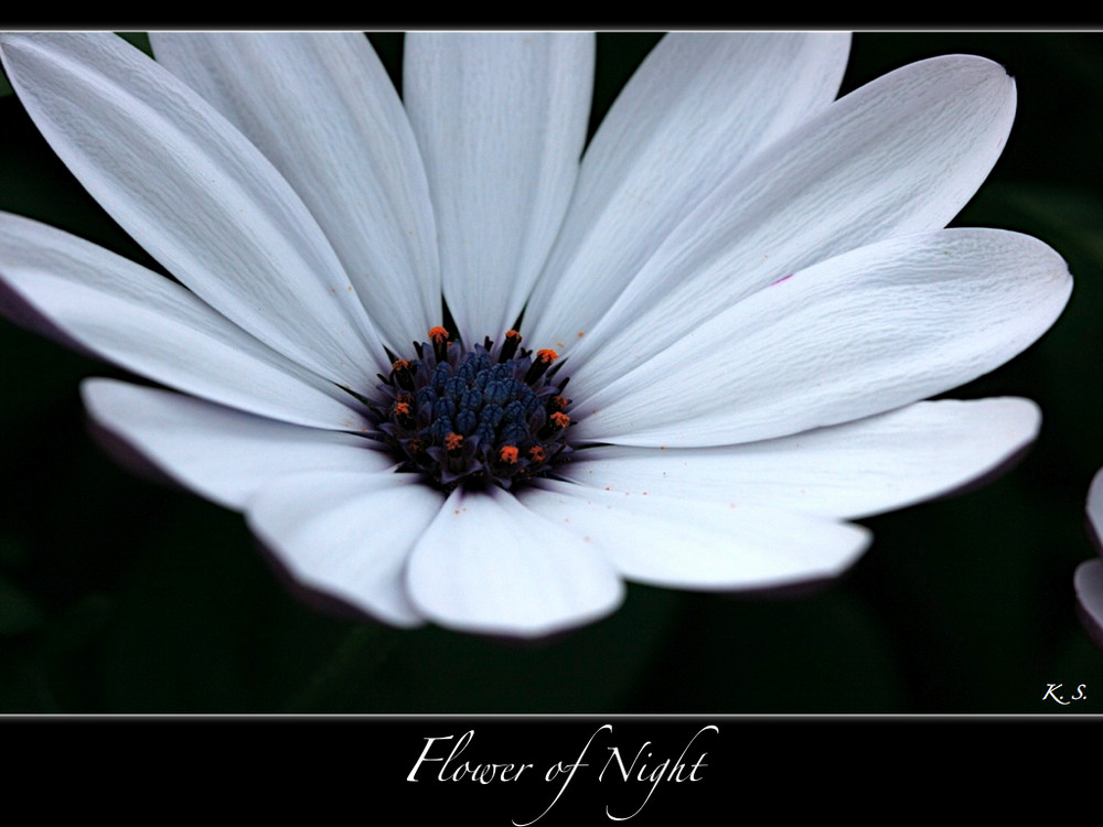 | Flower of Night |