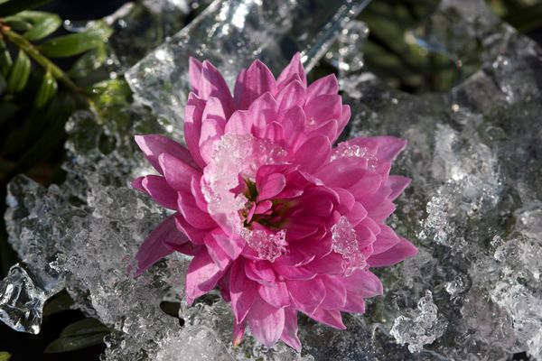 flower on ice
