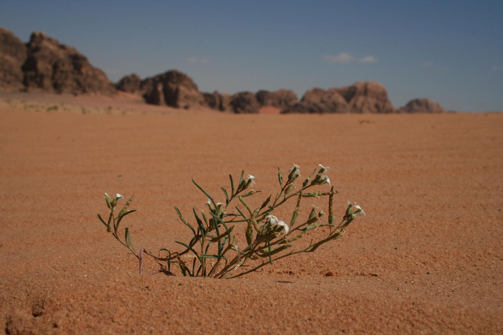Flower Power in der Wadi Rum