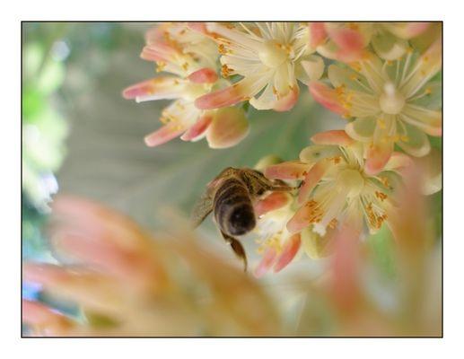 Flowering linden tree