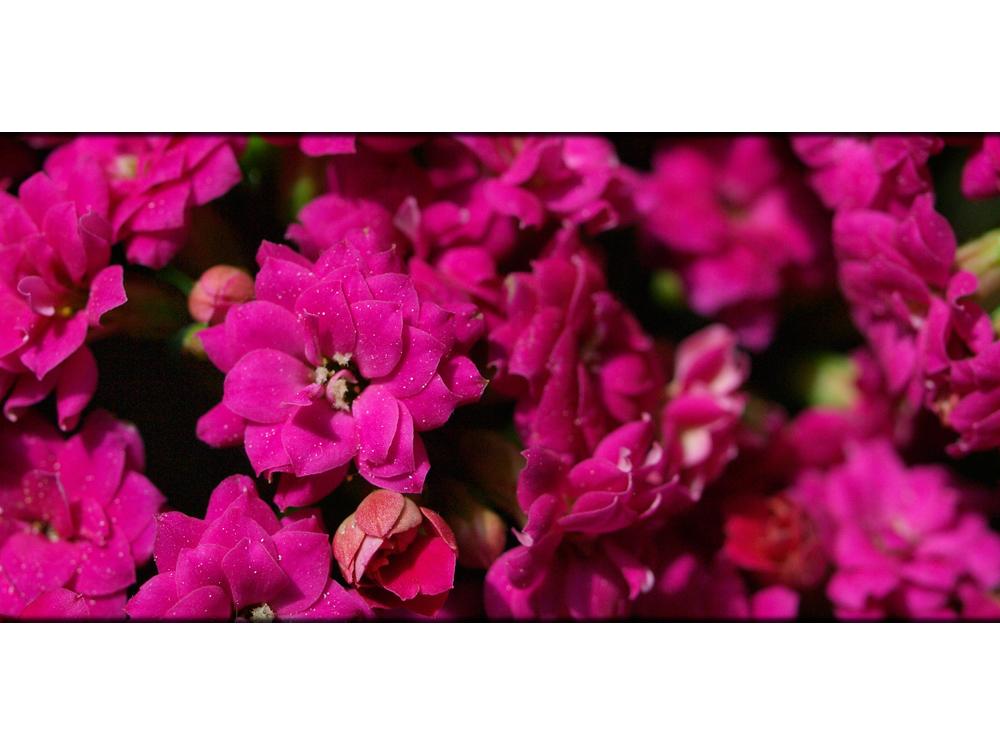 Flowers - Kalanchoe