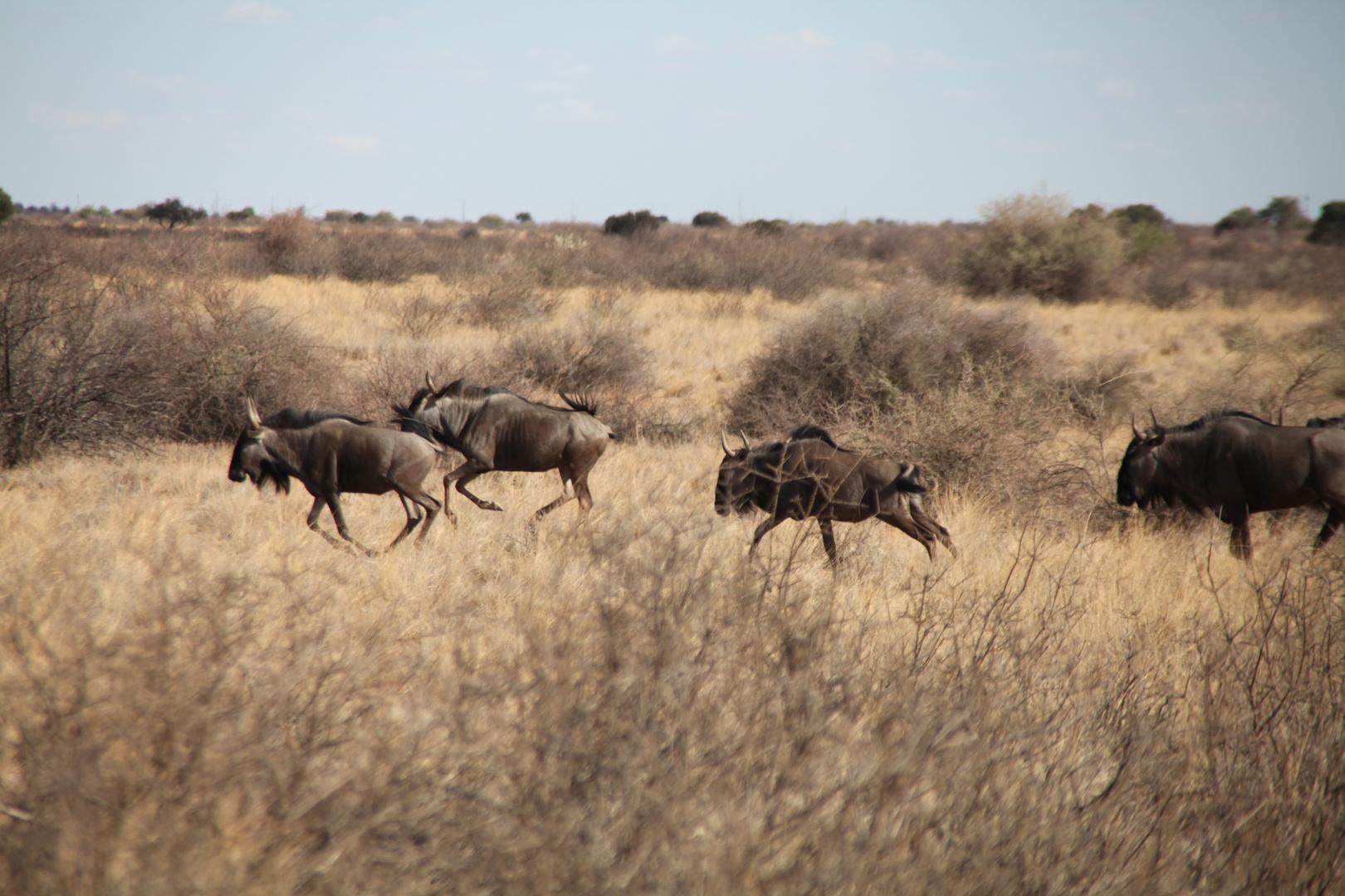 Flüchtende Gnus in der Kalahariwüste