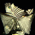 Flügel   (aus 2 Bildern)