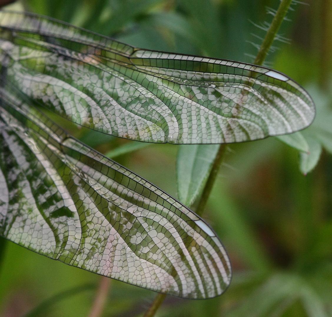 Flügel einerLiebelle