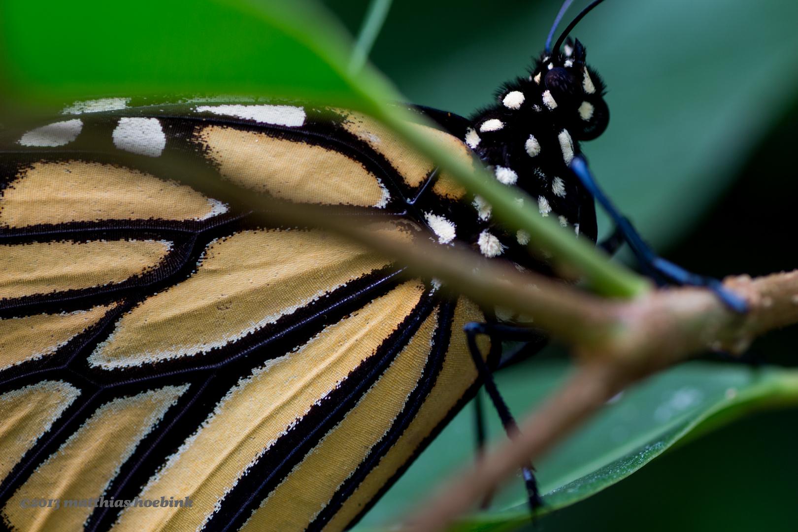 Flügel eines Schmetterlings