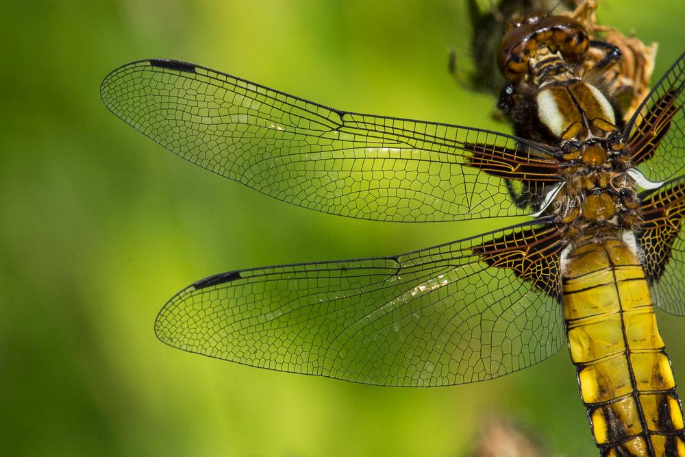 Flügel vom Plattbauch