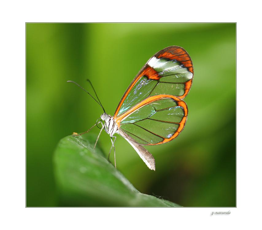 Flügel wie Glas