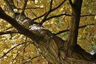 Flügelnussbaum