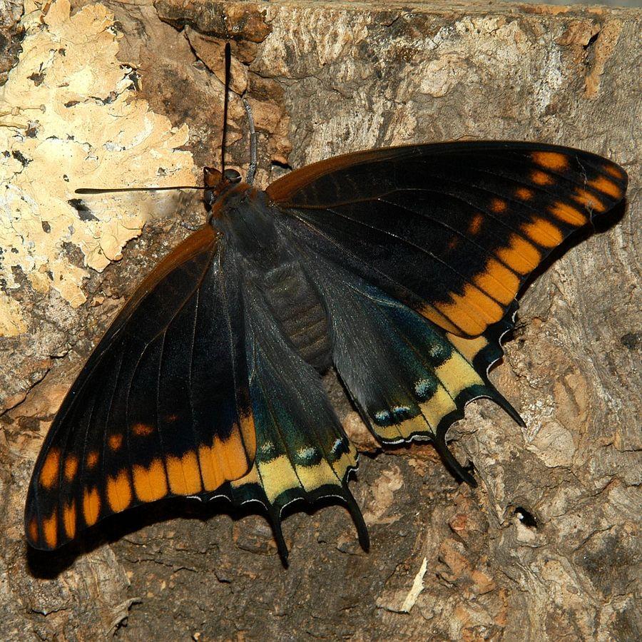 Flügeloberseite des Erdbeerbaumfalters