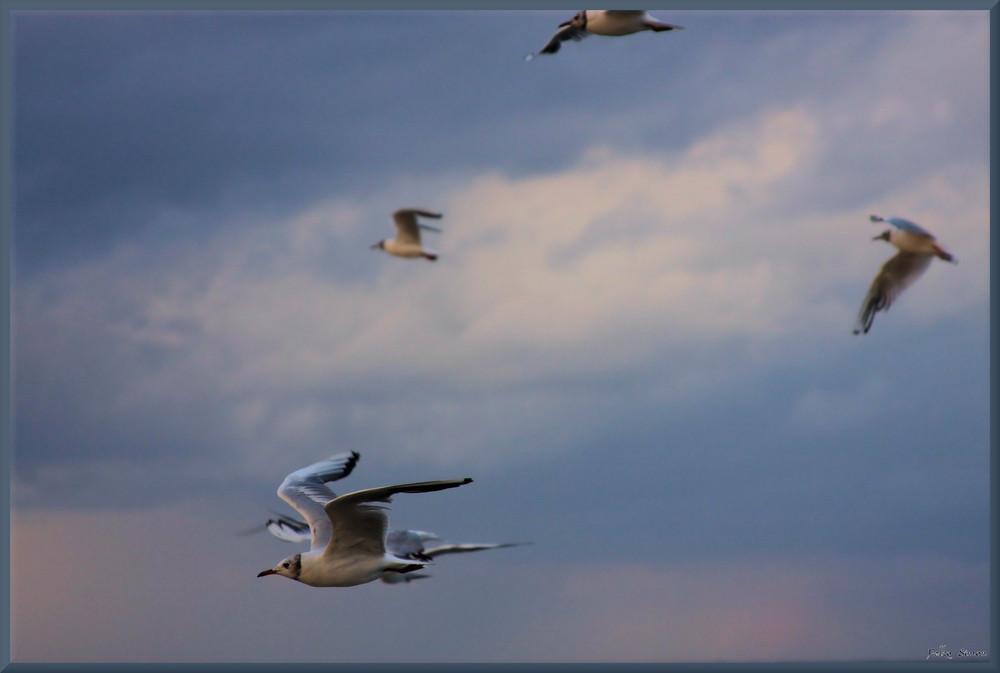 Flug der Lachmöwen