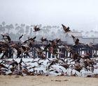 Flug der Pelikane