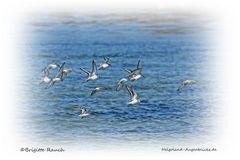 Flug der Sanderlinge
