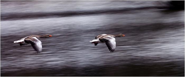 Flug der Wildgänse