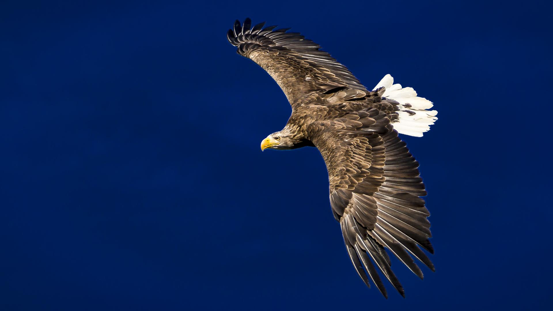 Flug des Adlers