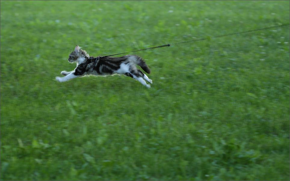 Flug- Katze