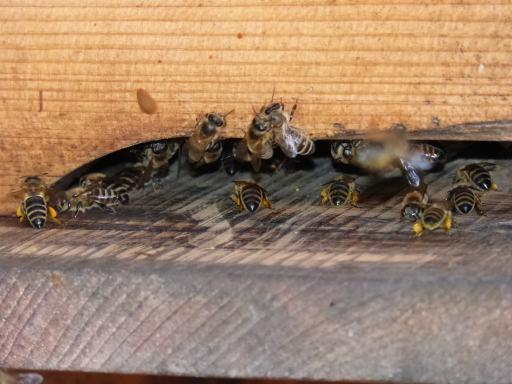 Flugbetrieb am Bienenstock