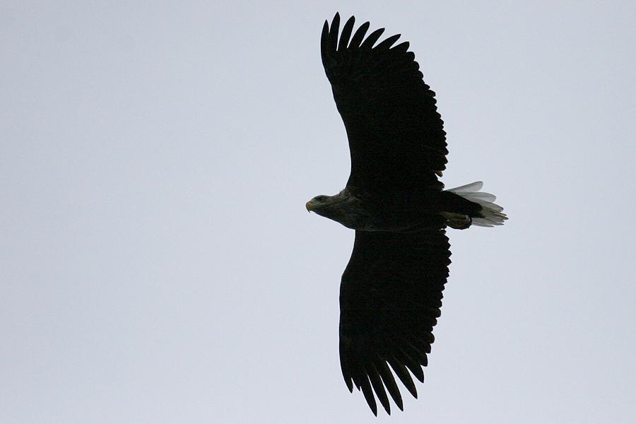 Flugbild Seeadler