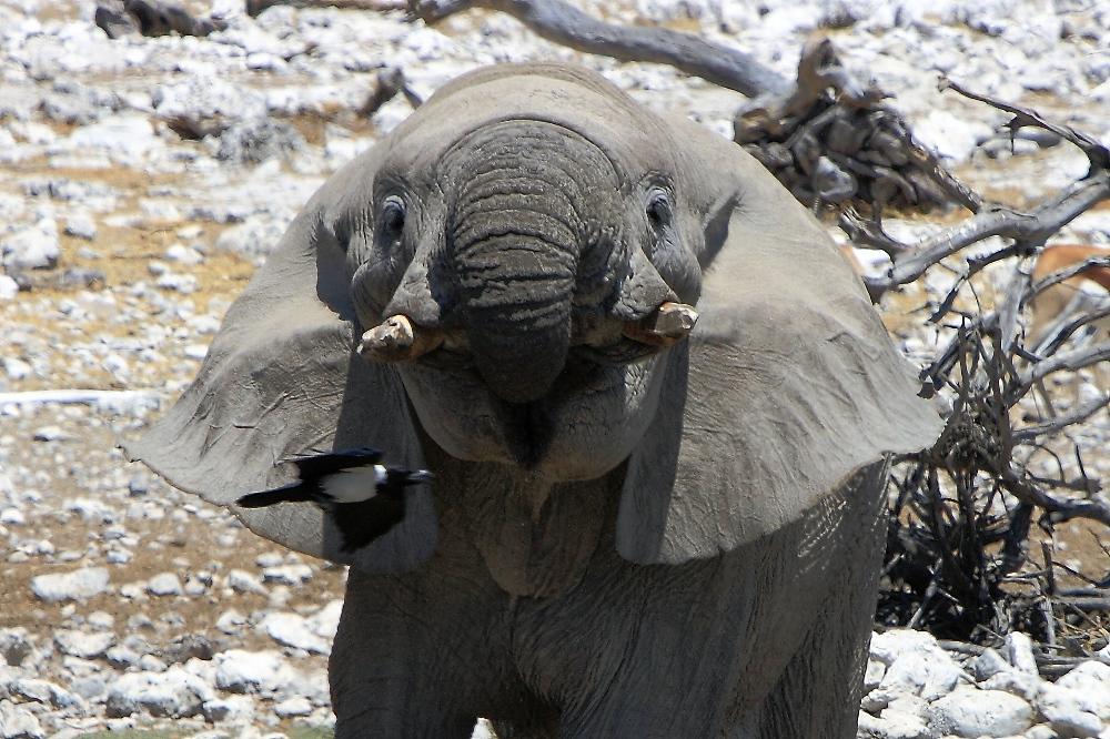 Flugeinlage mit Elefant.