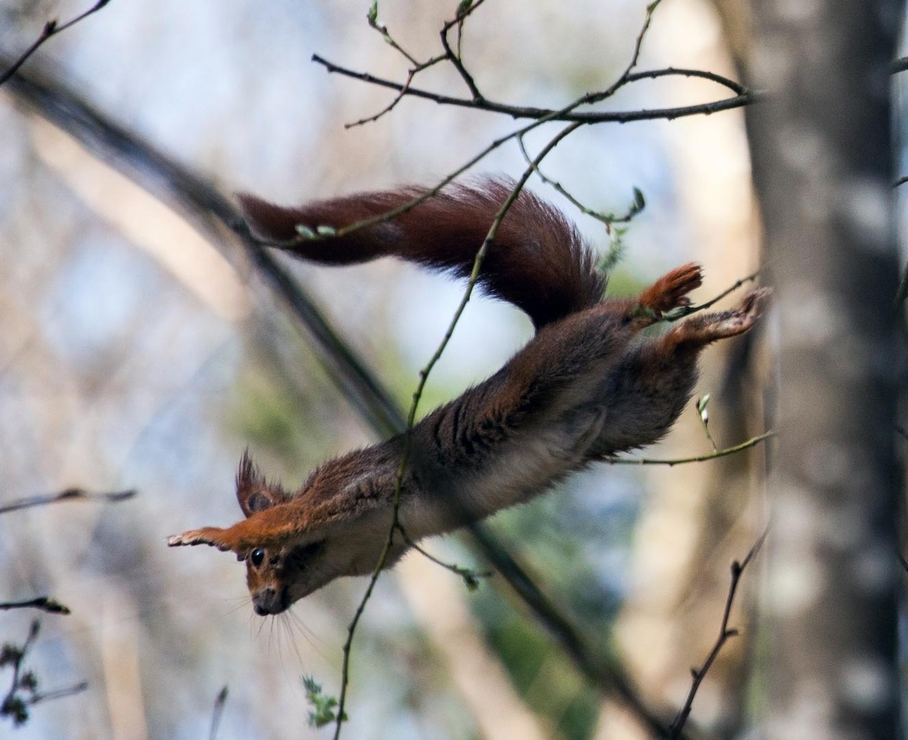 Flughörnchen