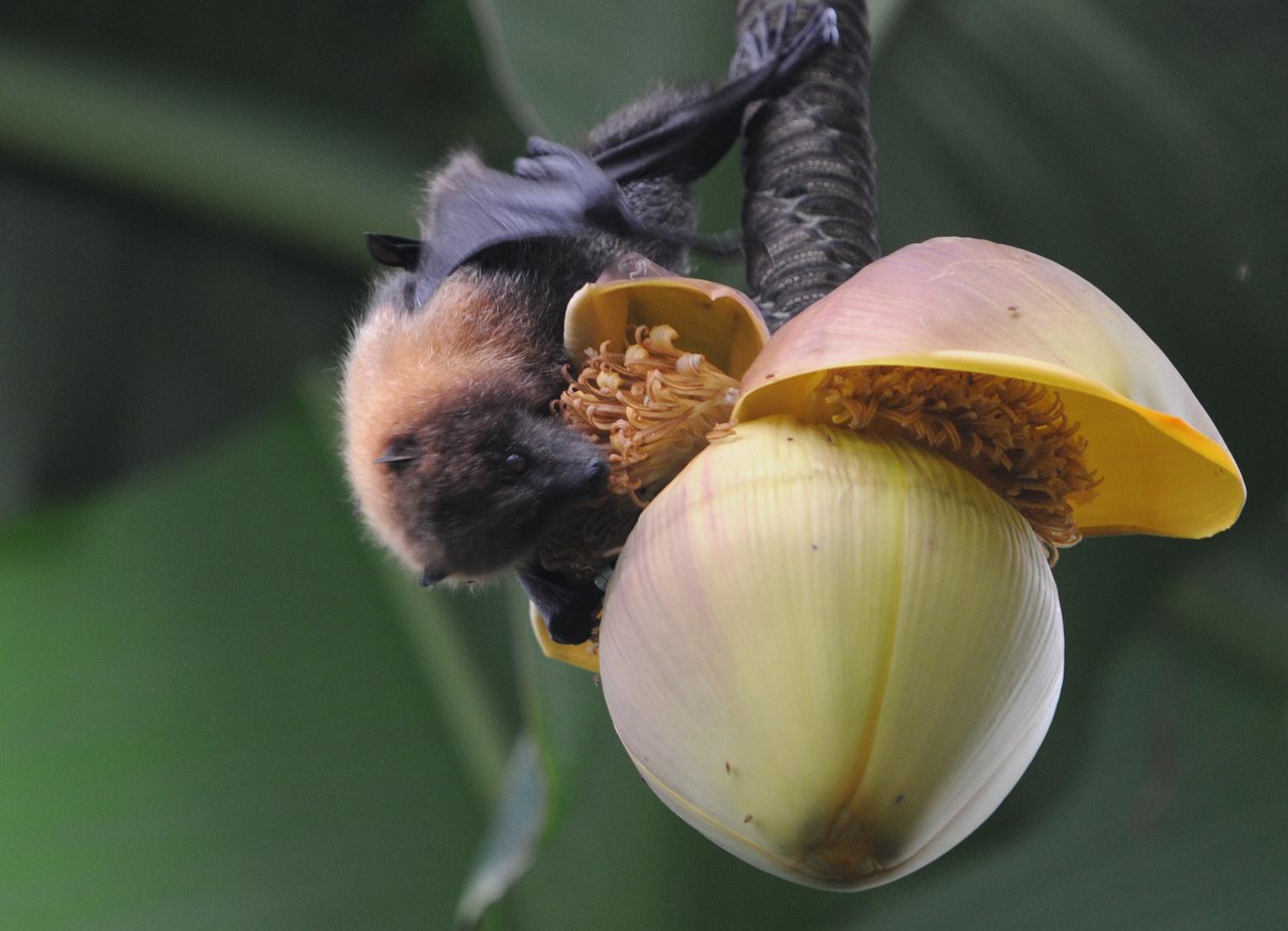 Flughund an Bananenblüte