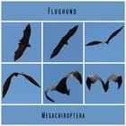 Flughund (Megachiroptera)