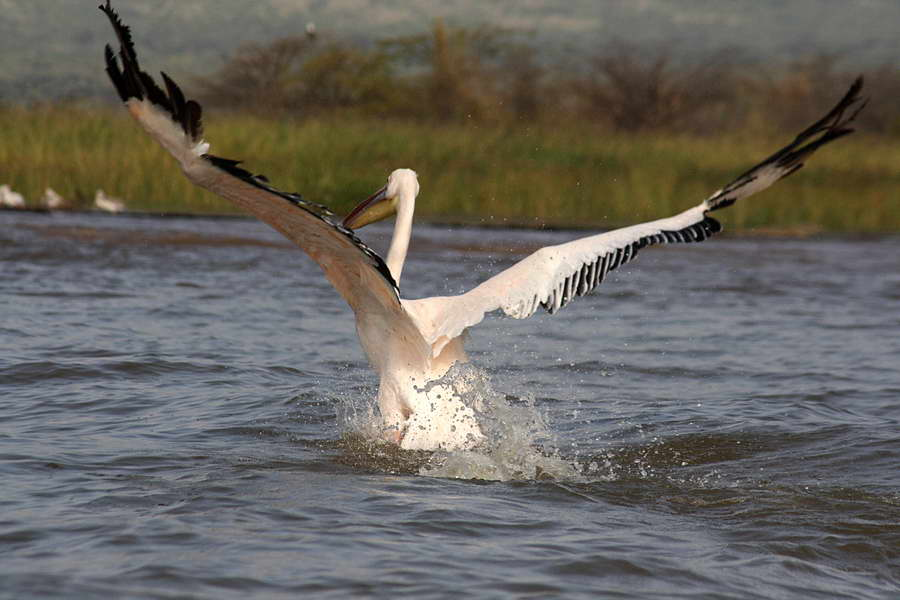Flugschau eines Pelikan.
