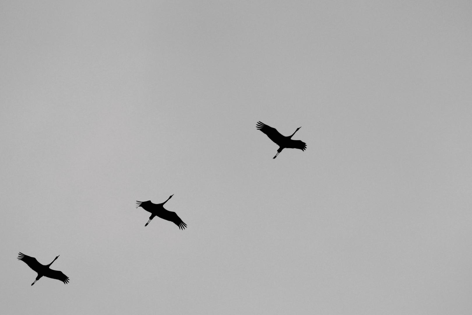 Flugsilhouetten 9: DER KRANICH