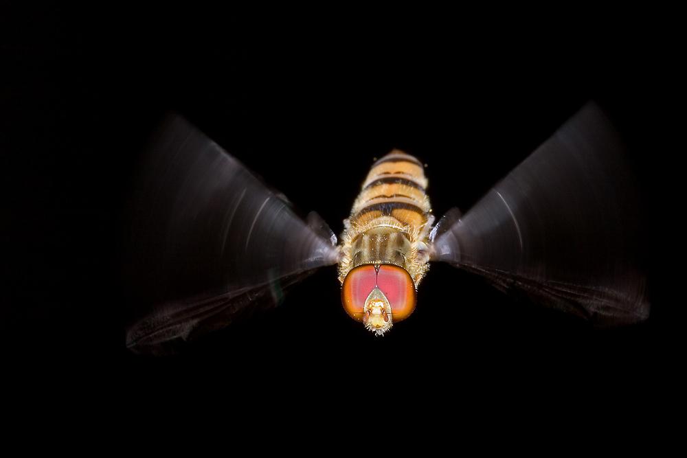 Flugstudie einer Schwebfliege