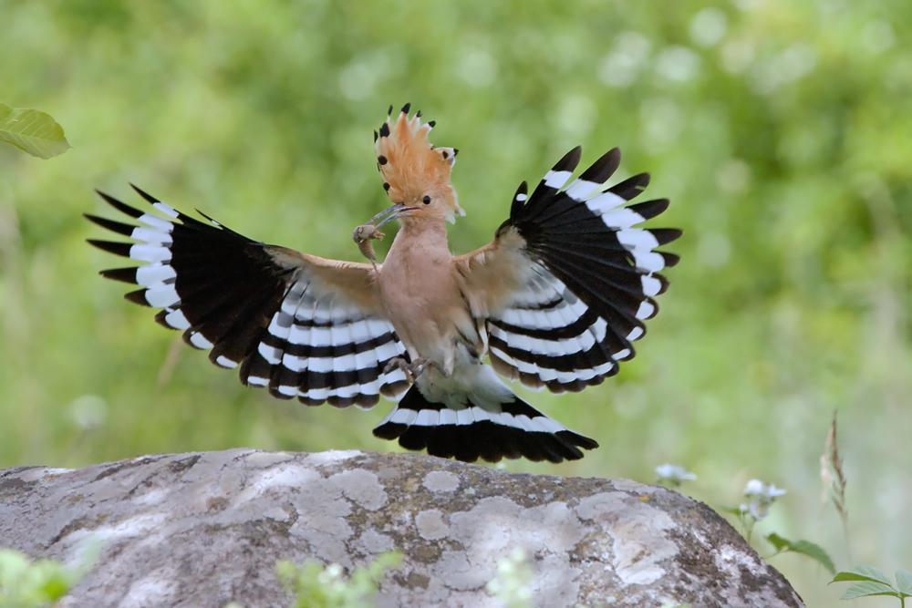 Flugstudie eines Wiedehopfs