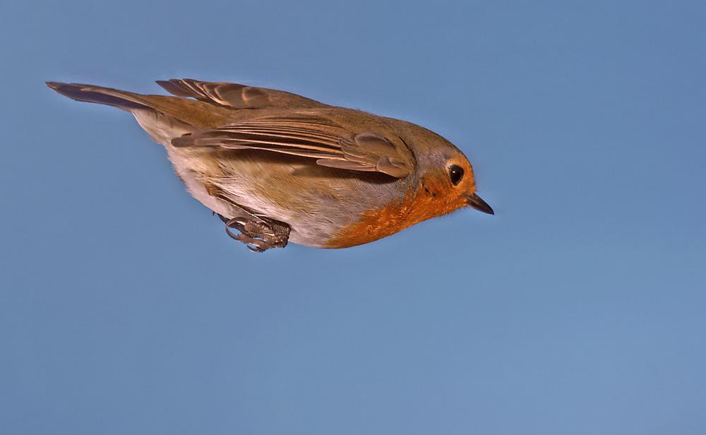 Flugstudie Rotkehlchen