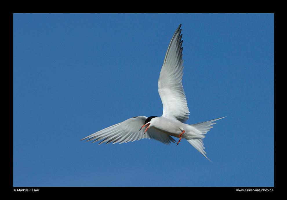 Fluss-Seeschwalbe im Flug • Insel Texel, Nord-Holland, Niederlande (21-21301)