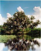 Flußbaum im Kissimmee