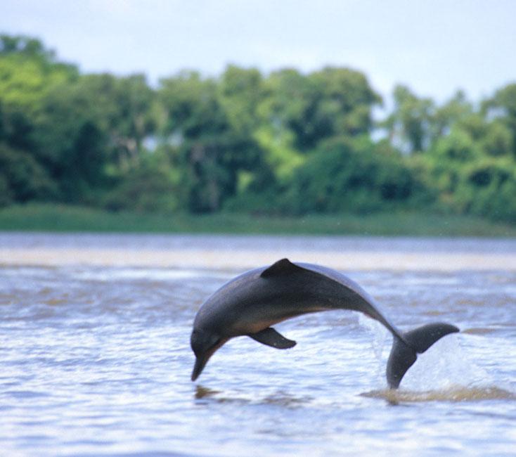 Flussdelfin im Orinoko
