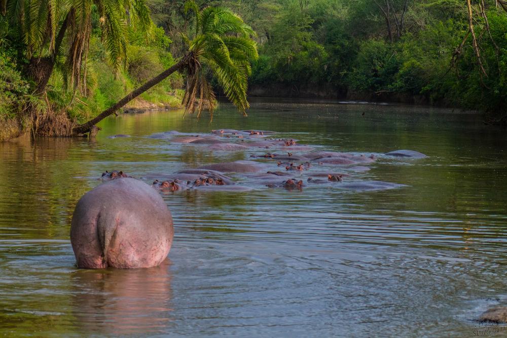 Flussfrieden, Hippos
