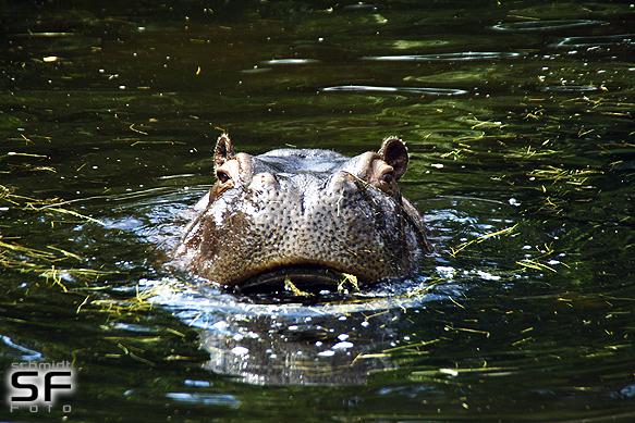 Flusspferd beim baden