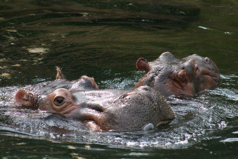 Flusspferd mit Nachwuchs im Zoo Hannover