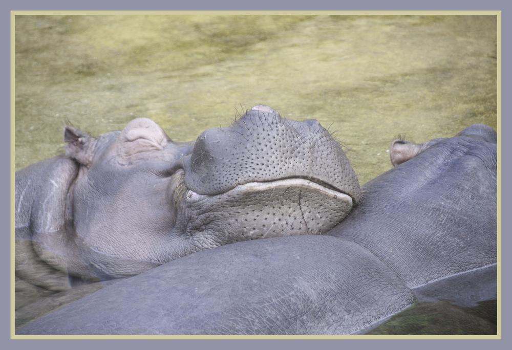 Flusspferde beim relaxen